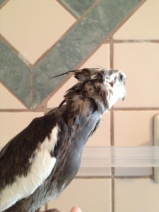 Notice the short edgy winged layers and the one longer crest strand which arcs up and away from the neck line.