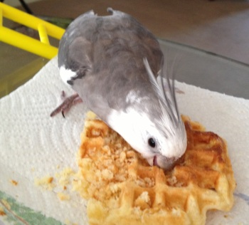 "Pearl. Exhibiting classic ""waffle ownership"" stance."