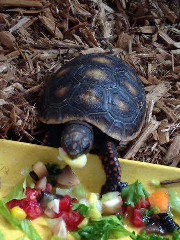 Malti, a baby red-foot tortoise, annihilates a kernel of fresh corn.