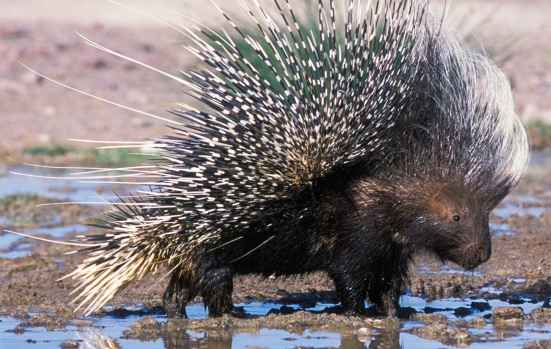 """A porcupine, displaying one of many """"fashion forward"""" looks based on that rarest of style accessories - spiny quills."""