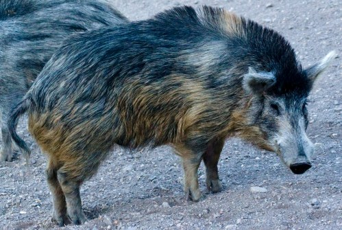 A razorback displays the intimidating ridge of raised back fur that has given it such a ferocious reputation.