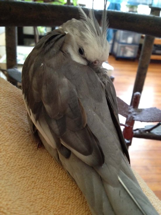 "Here, the feathery celebrity celebrates ""Labor Day"" while keeping one eye on the paparazzi using his famous ""half snooze"" maneuver."