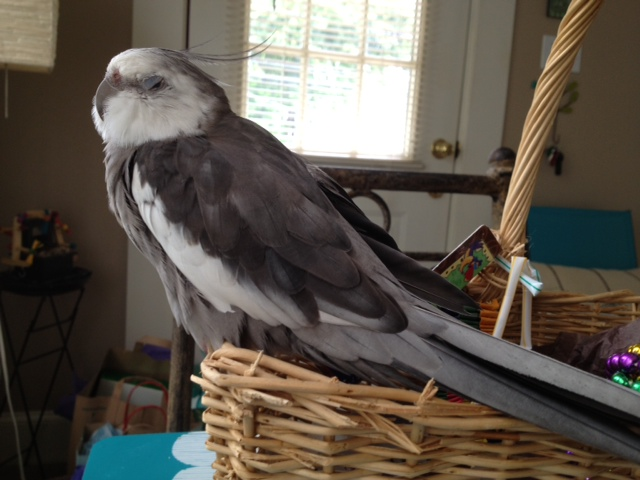 """Here, the feathery celebrity celebrates """"Labor Day"""" by resting on his wicker basket."""