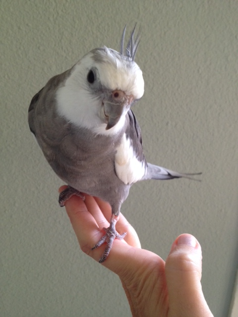 The very attractive Special Needs Spokesbird displays poise and prettiness.