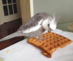 Pearl. Considering whether to offer you - his FAV V.I.P. fan - a morsel of his delicious waffle.