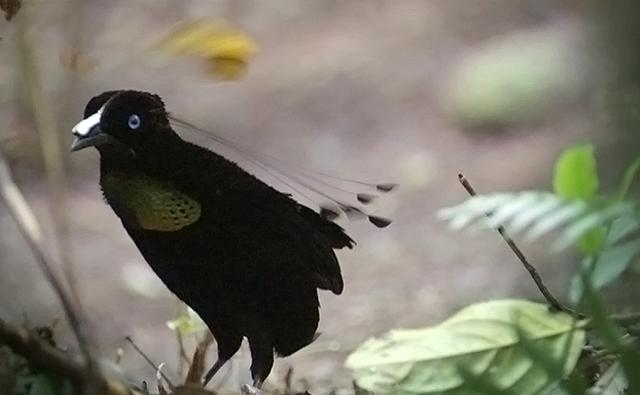 The very manly 6-plumed manbird of paradise....in search of a ladybird.