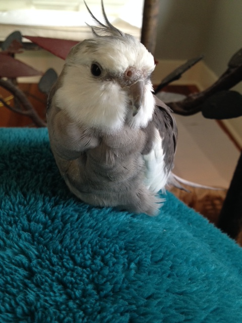 Pearl. Showcasing his many fluffy feathers.