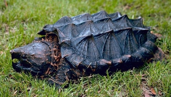 An alligator snapping turtle, looking very spiky and prehistoric.