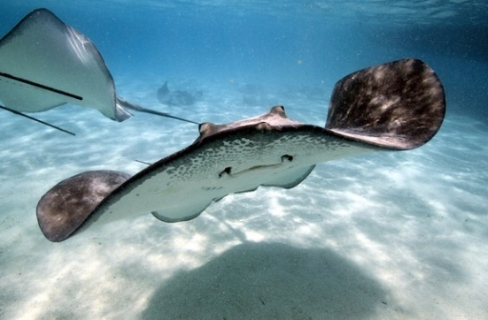 A stingray looking happy (because it is just about to dispatch tasty prey).