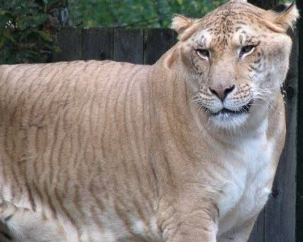 A liger, looking very large indeed (image courtesy of flickr/aliwest44).