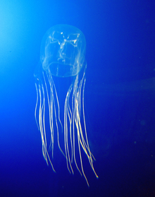 A box jellyfish (image courtesy of Wikipedia.)