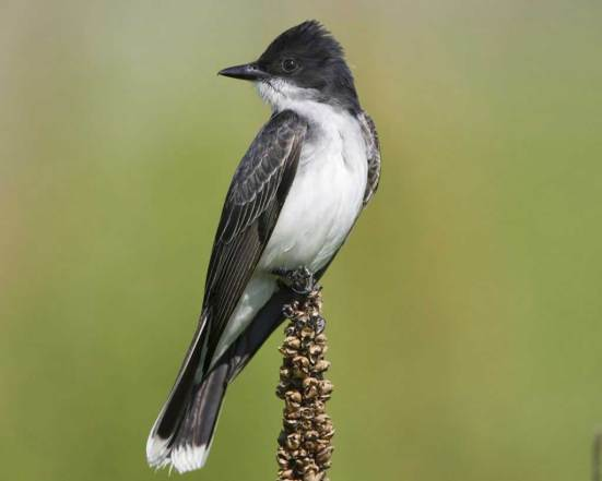 An Eastern kingbird displays its formal feathers (image courtesy of Audubon).