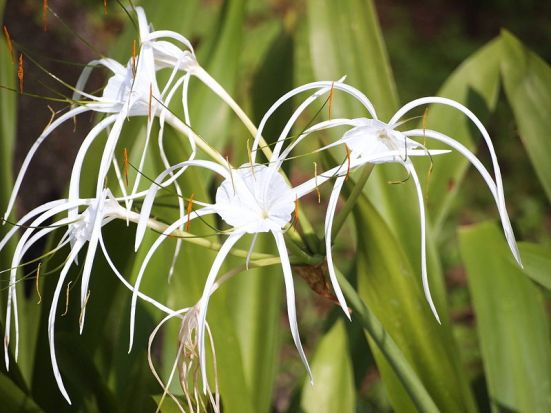 A spider lily shows off profuse refined white blooms (with its sturdy green leaves standing at the ready for backup). (image courtesy of Wikipedia)