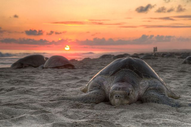 A lovely soft grey Olive Ridley sea turtle in the process of making her eggs.