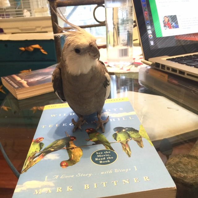 The literary expert (with feathers) demonstrates how cockatiels are still cuter than conures.