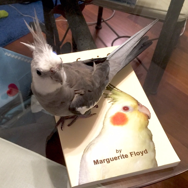 """The (single and seeking) book reviewer and feathers finds a wonderful read in """"Cockatiel Lessons!"""""""