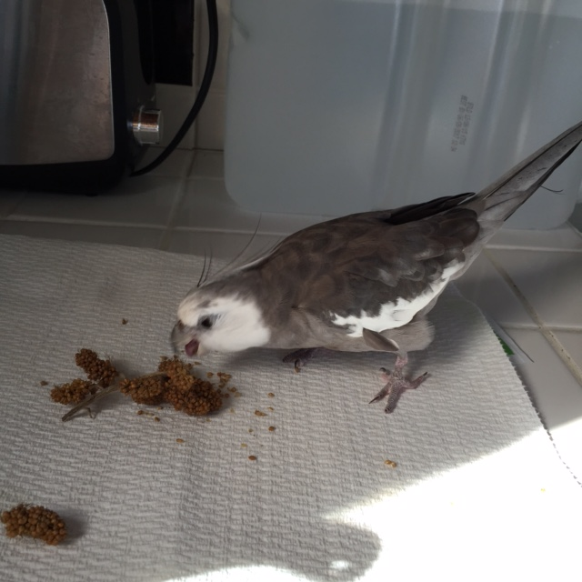 He opens his sharp beak for a big tasty crunch - and freezes as the voice gets closer.