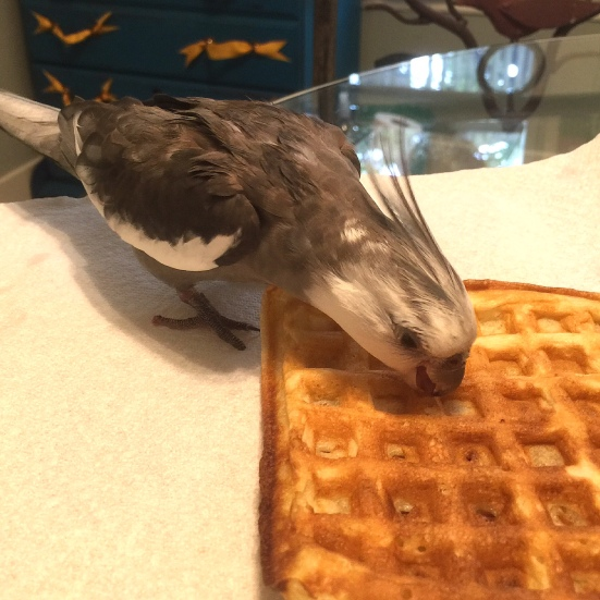 "Pearl. Giving his beak-crunch of approval to the winning dish - the ""waffle."""