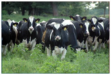 A large flock of Holsteins charge towards the camera (no doubt to better display their large, stylish selves).