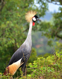 A grey crowned crane, busily roosting in its home in the Sahara in Africa.