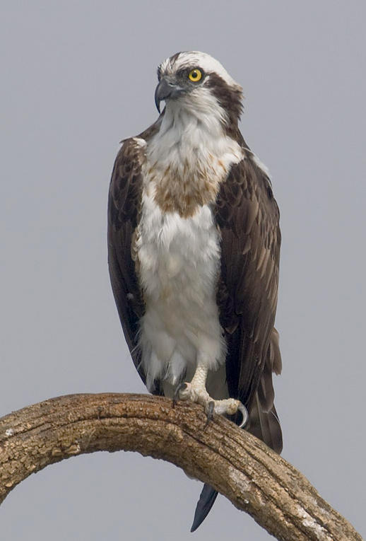 An osprey, looking fetching and feathery (not to mention quite fierce). -Image courtesy of Wikipedia