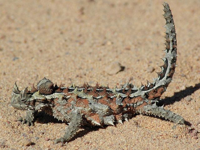 A thorny dragon on the move