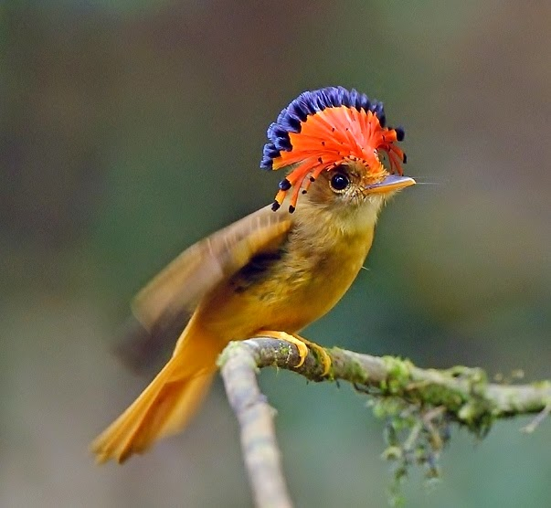 A royal flycatcher, ... (image courtesy of Luiz on the Bird Forum)